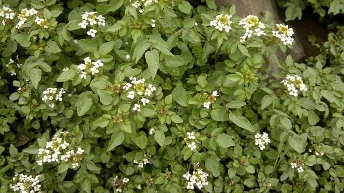 Полезные растения Растения, Польза, Сорняк, Длиннопост