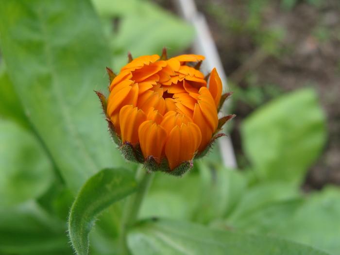 Солнышко просыпается Природа, Цветы, Календула, Позитив, Фотография