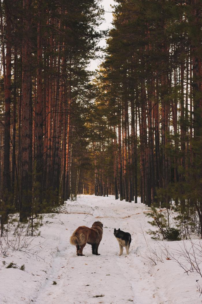 Два Хаски, Кавказская овчарка, Лес, Весна, Длиннопост, Собака