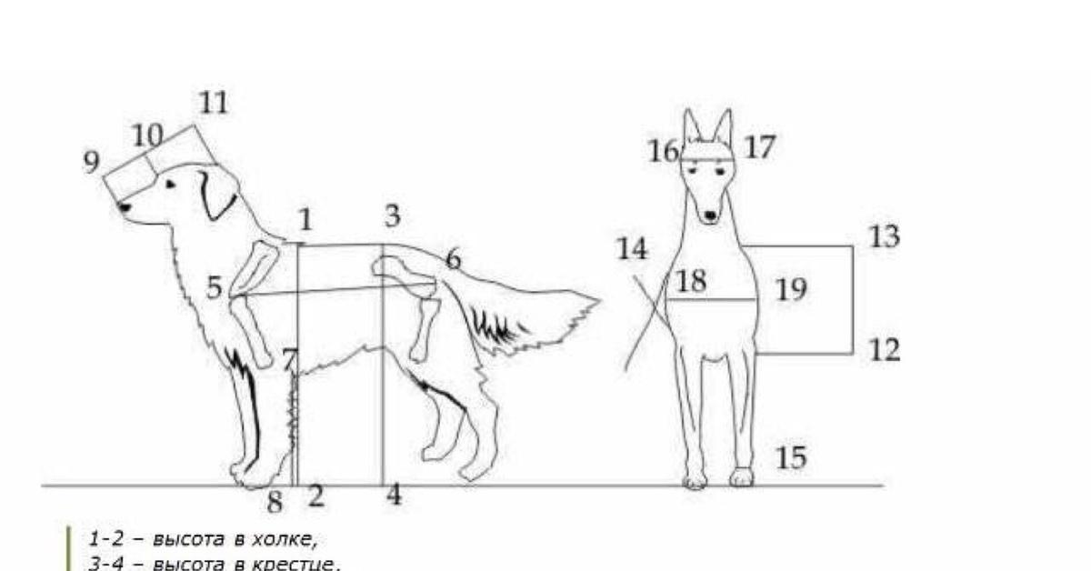 картинка измерения собаки торетама сей день