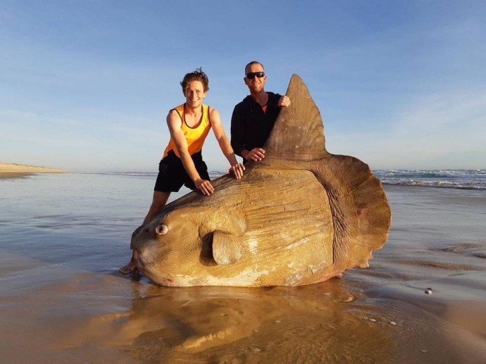В Австралии рыбаки нашли на берегу реки рыбу-луну длиной в два с половиной метра Рыба, Рыба-Луна