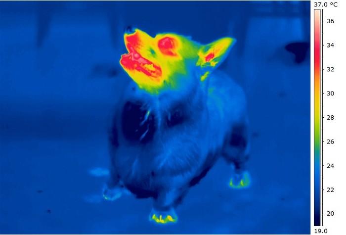 Не стандартный вид стандартного корги Собака, Корги, Термограмма, Тепловизор, Длиннопост, Домашние животные