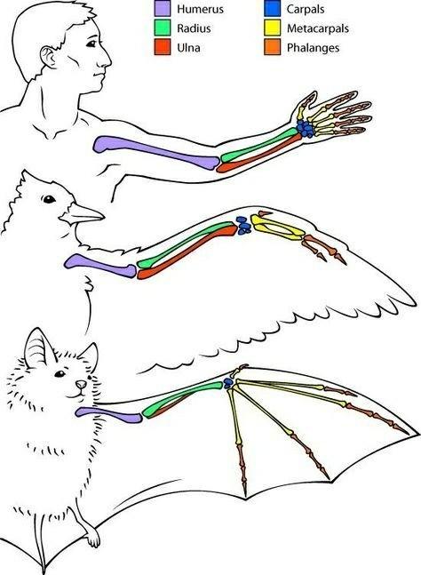 Думаете рука человека не похожа крыло птицы? Животные, Эволюция, Природа, Птицы, Анатомия, Дикий Край, Длиннопост