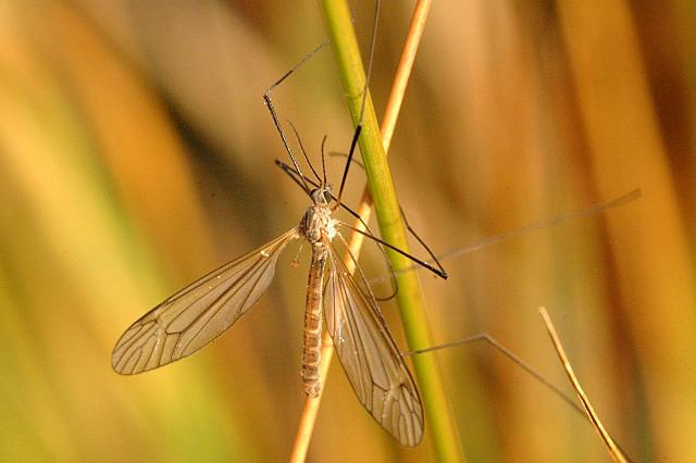 Tipulidae или комары-долгоножки Энтомология, Биология, Экология, Комары, Длиннопост