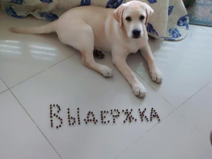 Выдержка Собака, Лабрадор, Щенки, Выдержка, Дрессировка