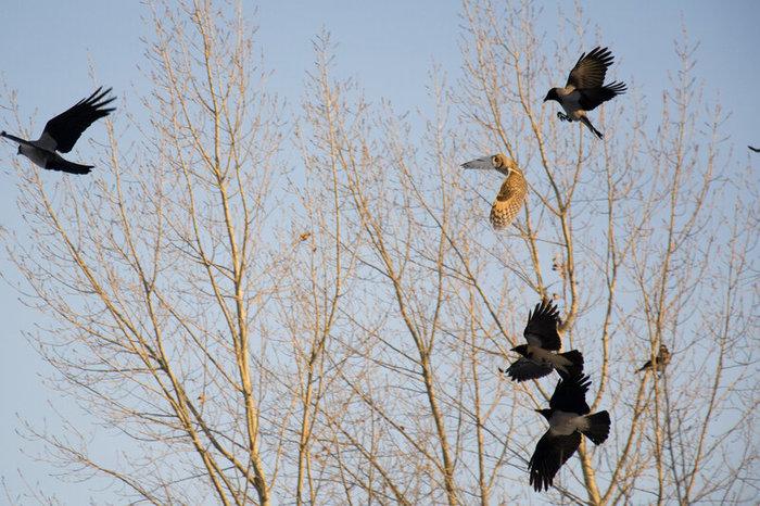 Спасаем правильно!! Птицы, Хищные птицы, Спасение птицы, Сова, Ястреб, Ворона, Длиннопост