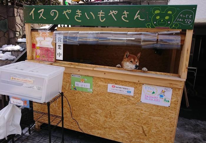 Собака продавака Япония, Продавец, Милота