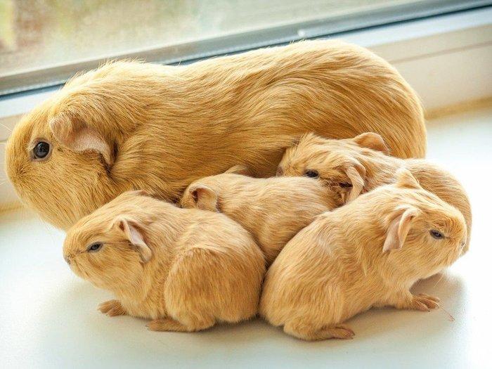 Ctrl-C - Cntrl-V Морская свинка, Детеныш, Приплод, Домашние животные, Милота