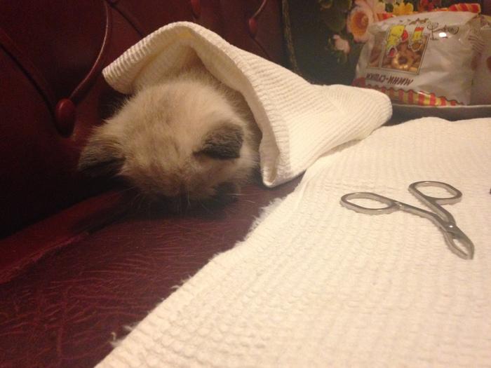 """Очередная трогательная история """"подобрал котика"""" Подобрали, Котята, Тайская кошка, Вредные привычки, Длиннопост, Кот"""
