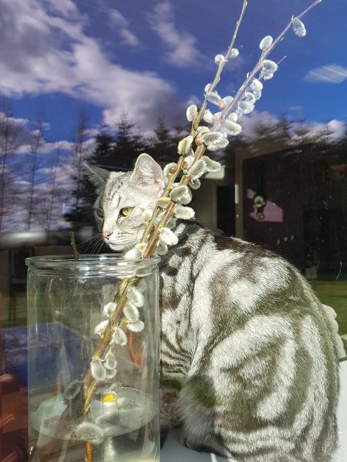 Кот в котиках Домашние животные, Кот, Усатый-Полосатый, Британский кот, Барсик, Длиннопост, Пост 1 апреля 2019 г