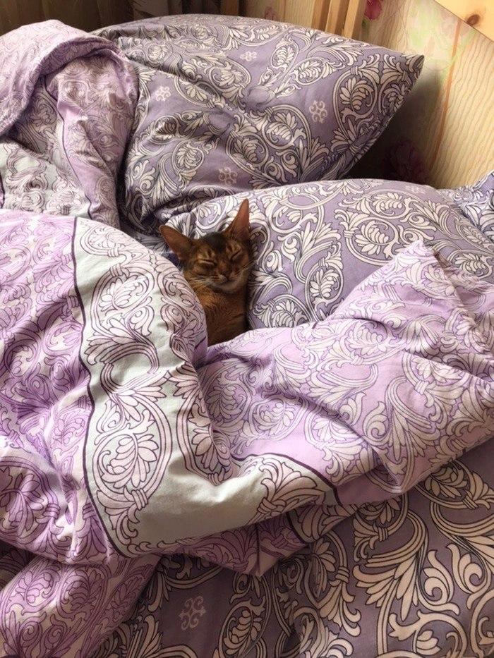 Начало трудовых будней Абиссинская кошка, Кот, Домашние животные, Пост 1 апреля 2019 г