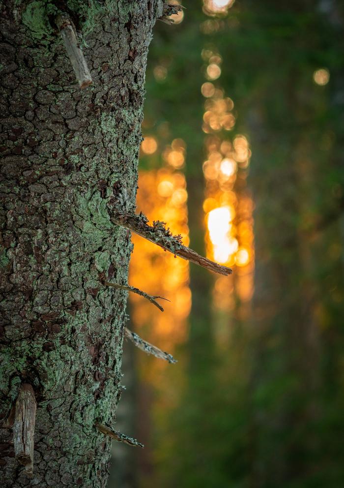 Немного апрельского закатного солнца в лесу никому не навредит Закат, Лес, Апрель, Линдуловская роща, Длиннопост