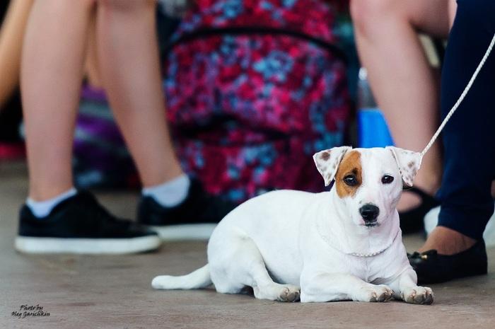Продолжаю публиковать репортажные снимки с выставок собак, прошедших по Югу России в 2018 году, приятного просмотра))) Собака, Собаки и люди, Домашние животные, Выставка, Выставка собак, Анималистика, Длиннопост