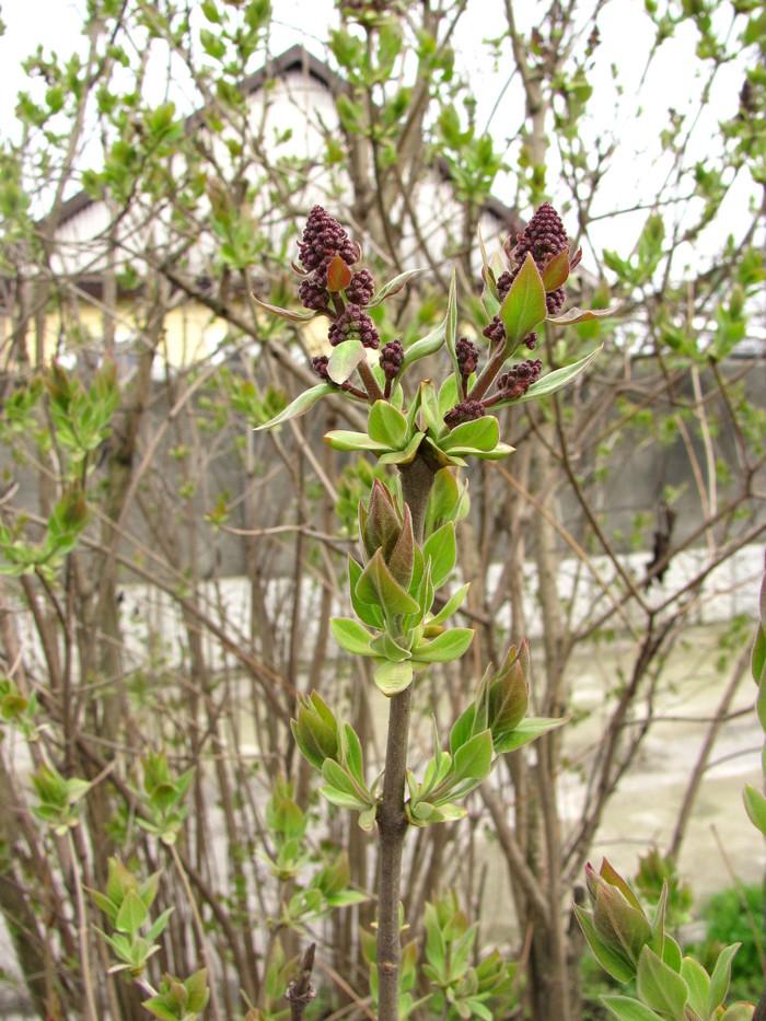 Сирень пробуждается Сирень, Весна, Почки, Начинающий фотограф, Пробуждение природы, Длиннопост