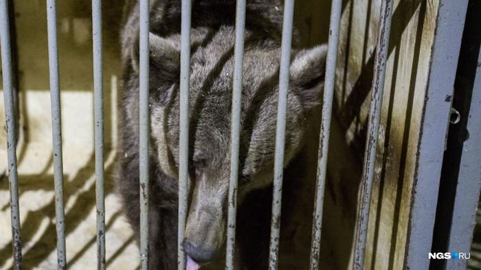 Дрессировщики не могут прокормить медведей в Новосибирске Новосибирск, Сибирь, Медведь, Цирк, Голод, Дрессировщики, Видео, Длиннопост, Негатив