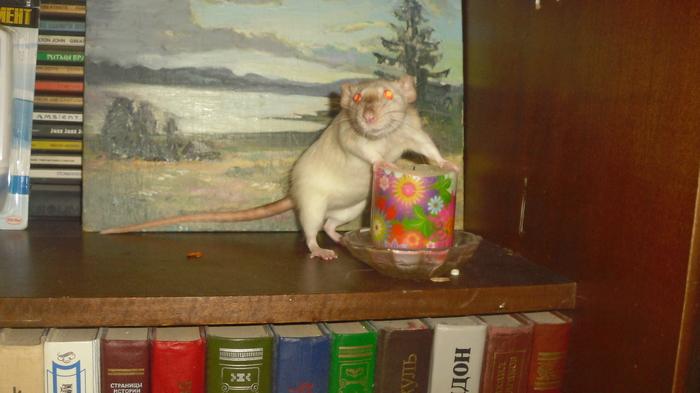 Крысиный четверг. Фотография, Животные, Крыса, Декоративные крысы, День крыс, Домашние животные