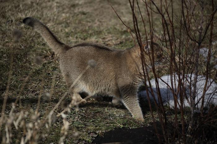 На прогулке Кот, Британский кот, Домашние животные