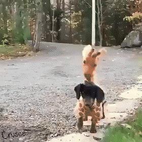 Жирафогав Собака, Милота, Костюм, Жираф, Reddit, Гифка