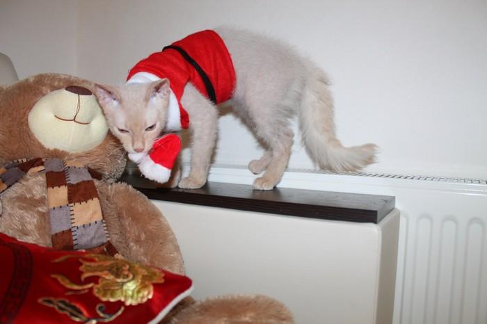 Душевный кот, продолжение... Кот, Брашевый сфинкс, Милота, Сфинкс, Любимец, Пушистик или нет, Домашние животные, Длиннопост