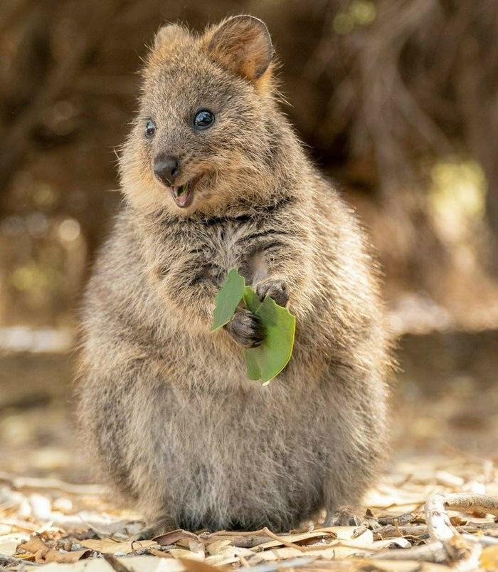 Радуйся каждому дню, как эта квокка радуется зелёному листочку Квокка, Радость, Животные, Длиннопост