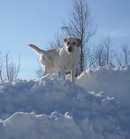 Прощай мой Белый Лебедь Собака, Лабрадор, Смерть, Длиннопост, Смерть питомца, Негатив, Некролог