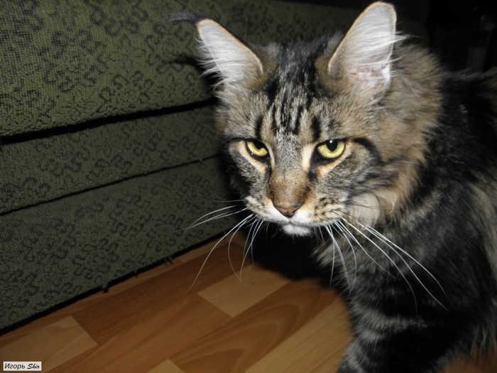 Кот охранник Кот, Охрана, Семья, Дом, Длиннопост, Мейн-Кун