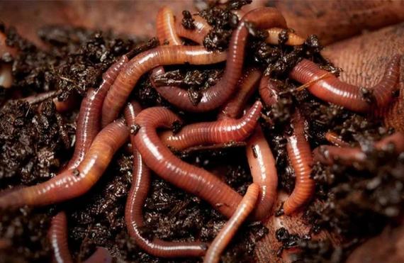 как рождается червяк