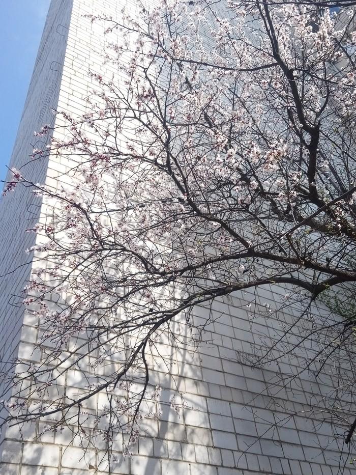 Весна пришла Весна, Винница, Дерево в цвету, Мой любимый город, Фото на тапок, У меня лапки, Длиннопост