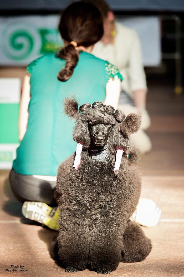 Очередная серия репортажных снимков с выставок собак, прошедших по Югу России в 2018 году, приятного просмотра))) Собака, Собаки и люди, Выставка, Выставка собак, Анималистика, Фотограф, Фотография, Длиннопост