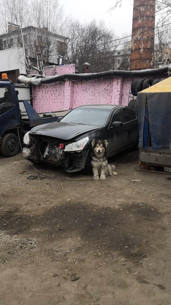 Ищем дом Нацу Сила Пикабу, Хороший мальчик, Собака, В добрые руки, Аляскинский маламут, Без рейтинга, Москва