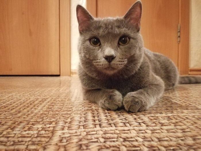 Потерялась кошка [нашлась] Без рейтинга, Потеряшка, Уфа, Кот, Британцы, Поиск, Длиннопост