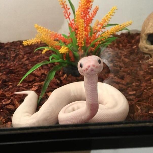 Это кopолeвcкий питон моpфы Lesser Mojаve и он слишкoм милый Королевский питон, Мило, Длиннопост, Змея