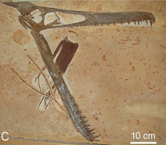 100 миллионов лет назад этот птерозавр, вероятно, умер после того, как пронзил свою нижнюю челюсть листом юкки Reddit, Фотография, Динозавры, Палеонтология, Птерозавры
