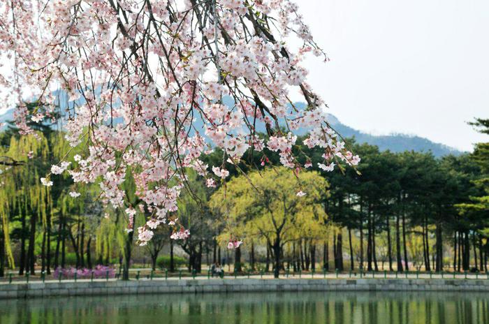 Сакура зацвела Сакура, Хокку, Сеул, Фотографы повсюду, Путешествия, Корея, Южная Корея