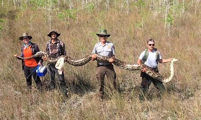 Во Флориде поймали питона рекордной для этих мест длины Питон, Длиннопост, Флорида, США