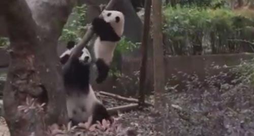 Панда, решившая снять своё чадо с дерева, обошлась с ним довольно бесцеремонно Животные, Милота, Панда, Юмор, Видео