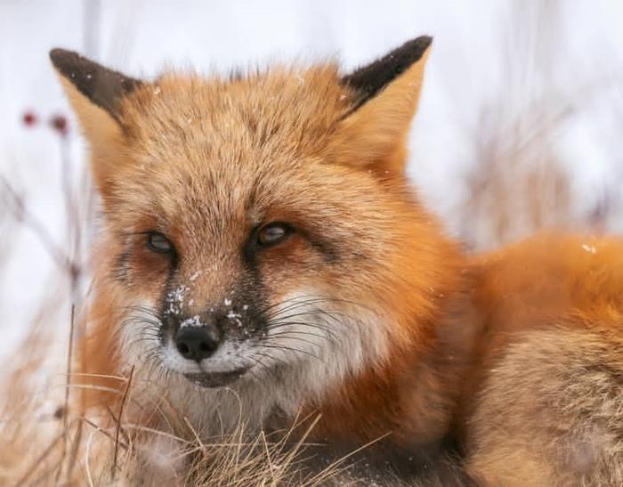 Хитрые и милые лисички Лиса, Милота, Длиннопост, Фотография, Пак, Животные, Фенек, Подборка