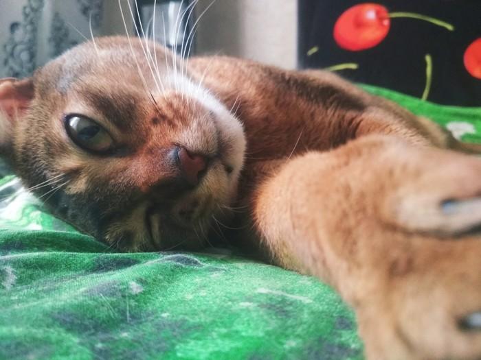 Абиссинского кота в ленту :)