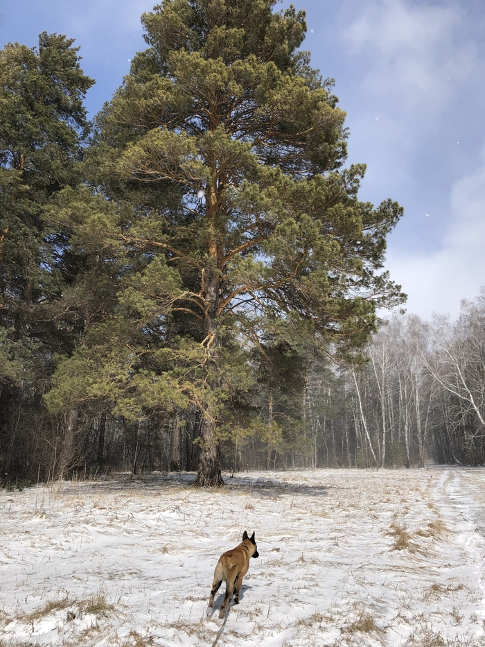 Позёр Малинуа, Фотография, Мобильная фотография, Собака, Домашние животные, Красота, Пейзаж, Длиннопост