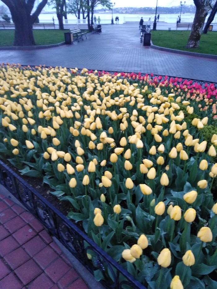 Тюльпаны) Весна, Тюльпаны, Цветы, Красота