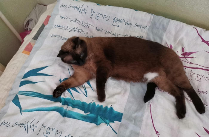 Редкое явление, пятилапая кошка. Кот, Котомафия, Тайская кошка, Фотография