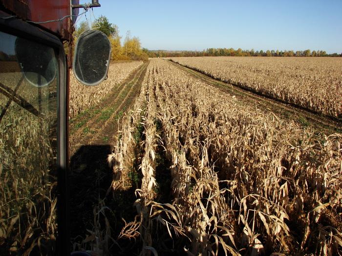 Как производят семена кукурузы (часть 2) Лига Сельского Хозяйства, Прогрессивное растениеводство, Семеноводство, Сельское хозяйство, Кукуруза, Видео, Длиннопост