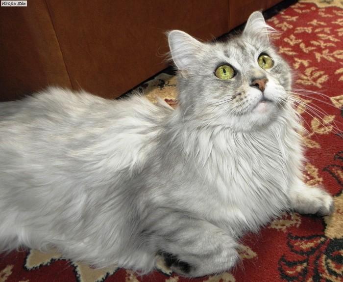 Как я у кошки роды принимал Мейн-Кун, Роды, Родители, Длиннопост, Кот