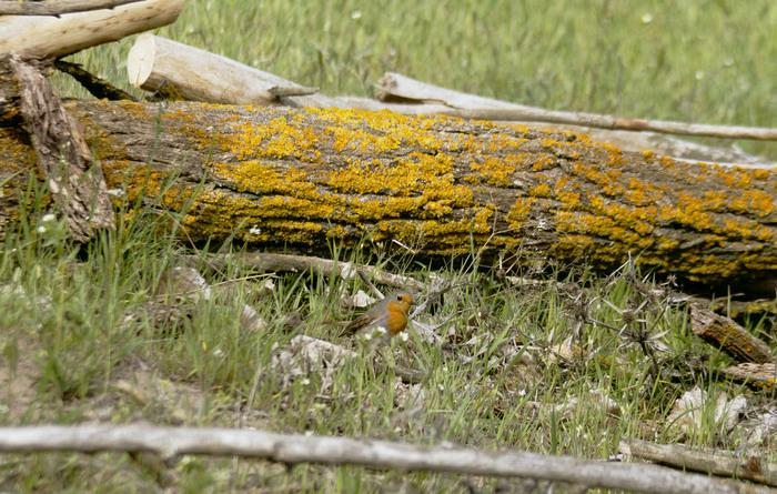 Зарянка - лат. Erithacus rubecula Птицы, Малиновка, Зарянка, Орнитология, Начинающий фотограф, Длиннопост, Природа