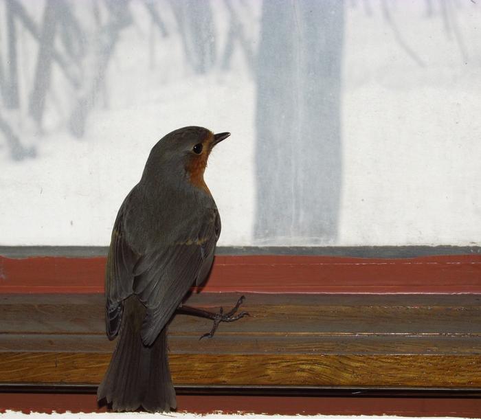 Что-то я не вовремя... Птицы, Зарянка, Весна, Снегопад