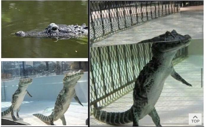 А я то думал, что крокодилы плавают
