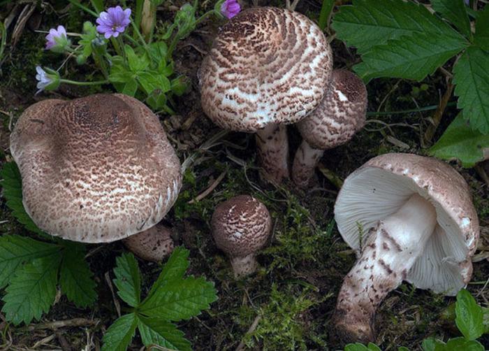 Пятёрка грибов, которые отравят вашу жизнь Stranowed, Ядовитые грибы, Отравление, Яд, Мухомор