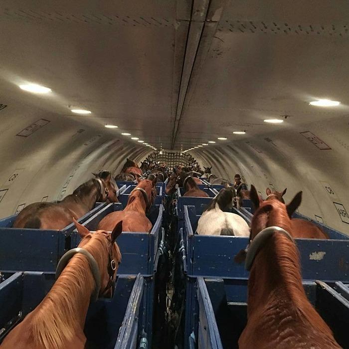 Лошади в самолете.