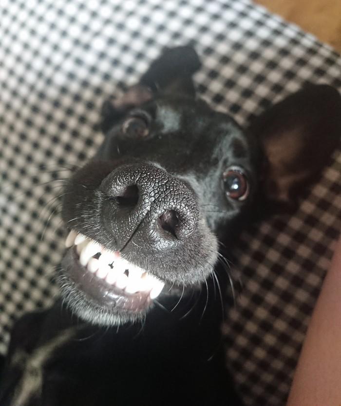 Собака улыбака Собака, Улыбка, Длиннопост