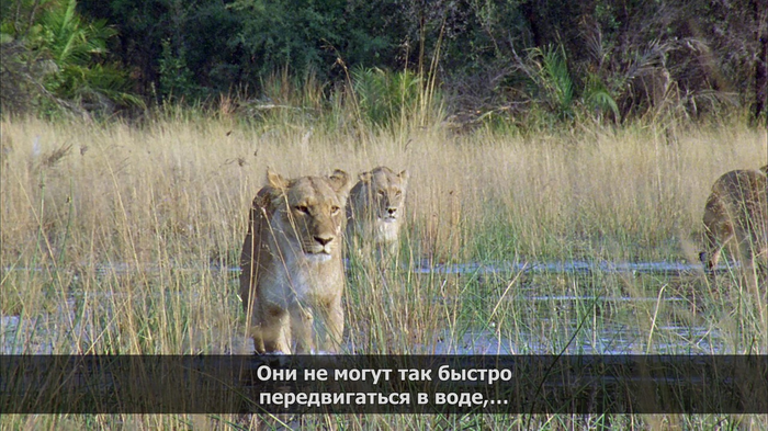 Правда жизни Лев, Охота, Длиннопост